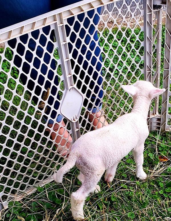 edna-lamb copy